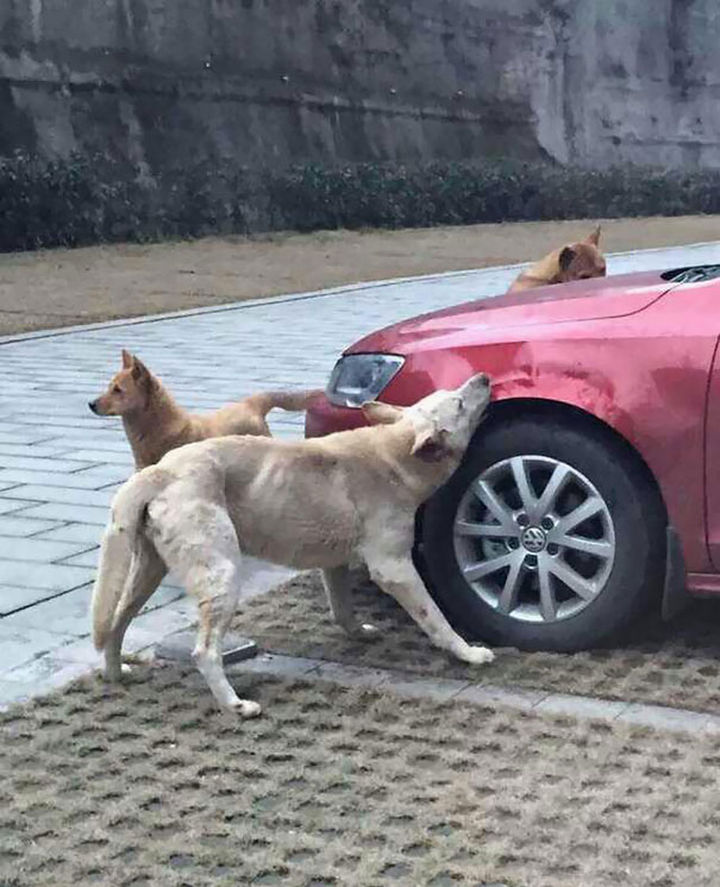 Dog Kicked by Driver Returns Later and Trashes His Car 01