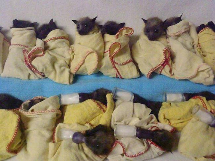 How cute are bats in a blanket?