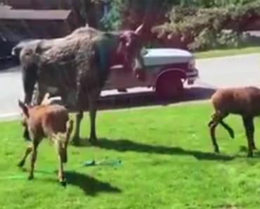A Moose and Her Calves Having a Sprinkler Party in Alaska.
