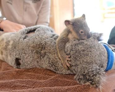 Adorable Baby Koala Hugs His Mom During Her Surgery.