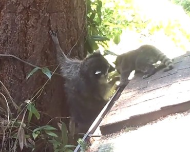 Mother Raccoon Patiently Tries to Teach Her Baby How to Climb.