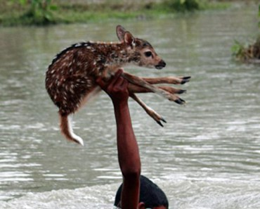 Teen in Bangladesh Saves Deer Fawn from Drowing in River.