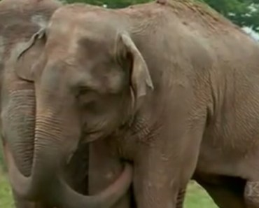 Two Elephants, Shirley and Jenny, Reunite After 22 Years Apart.