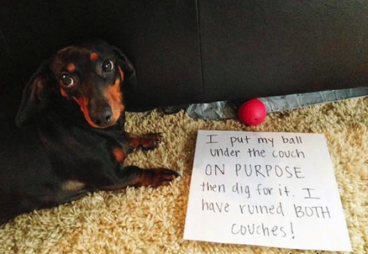 """28 Cute Dachshunds - """"Yes, sometimes we're bad but we don't mean it."""""""