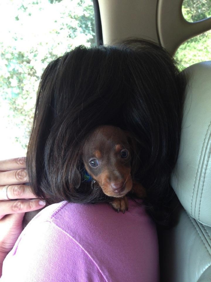 """28 Cute Dachshunds - """"My mommy's hair smells nice!"""""""