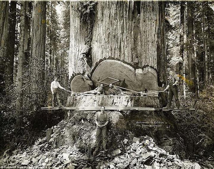 35 Rare Historical Photos - 1915: Turn of the Century Lumberjacks cutting down a gigantic redwood tree in California.
