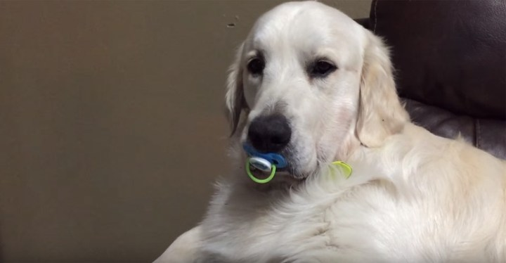 Max the Dog Refuses to Give up His Pacifier.