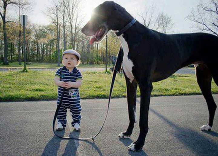 14 Dogs and Babies - Big dogs and small kids.