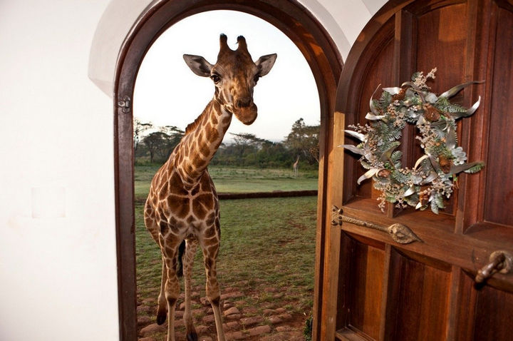 How about living with giraffes? They live on the property at Giraffe Manor and want to spend time with you!