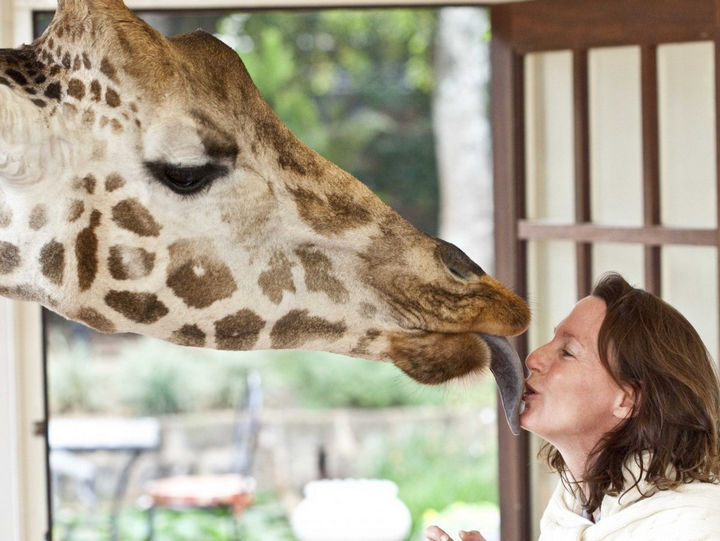 These giraffes are really friendly and might try to steal a kiss.