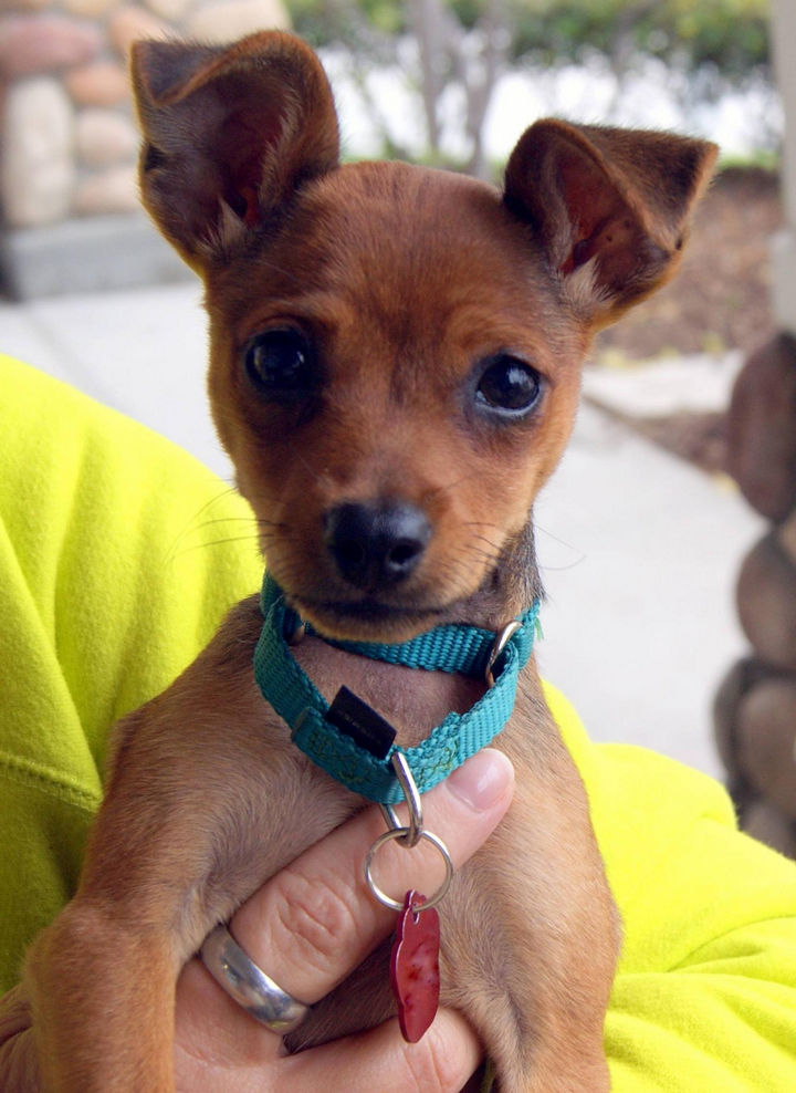 """A man spotted a tiny dog on his way to work. Her doggie bed had a sign that read """"Free Puppy."""" He quickly called a no-kill shelter to get her fixed, vaccinated, and adopted. They named her """"Lambic."""" The rescue group put Lambic up for adoption and it didn't take very long for them to find a new owner."""