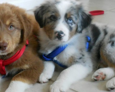 A Loving Family Adopts a Blind Dog and His Brother to Guide Him Around.