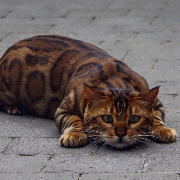 But Thor the Bengal cat's claim to fame has to be his beautiful spotted fur.