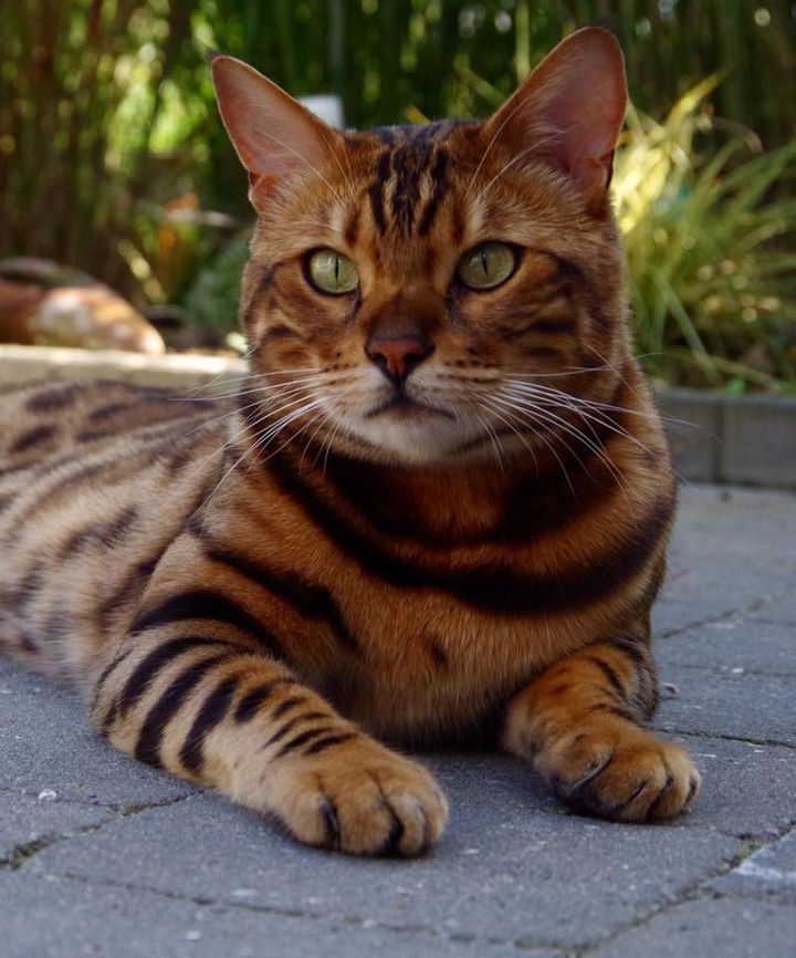 Thor's owner, Rani Cucicov, fell in love with the Bengal cat when she spotted him at a cattery in the Netherlands in 2013.