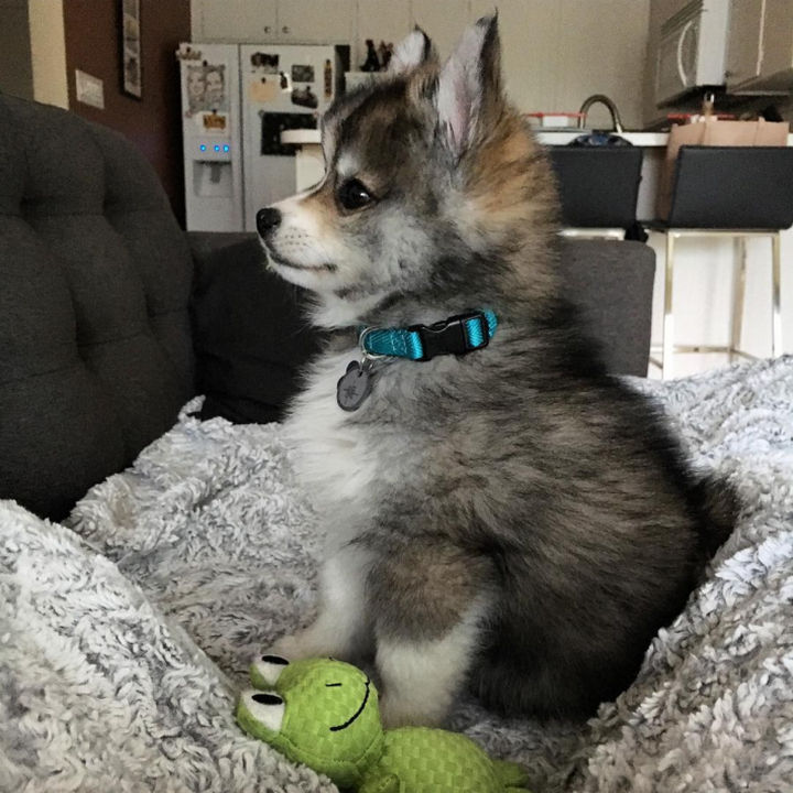 Norman the Pomsky looking adorable with his tiny froggy.