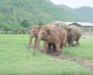 Elephants Run to Greet a New Rescued Baby Elephant.