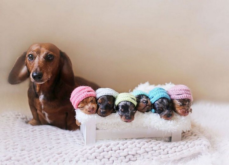 21 Proud Mommy Dogs - Dachshunds! This is so doggone cute!