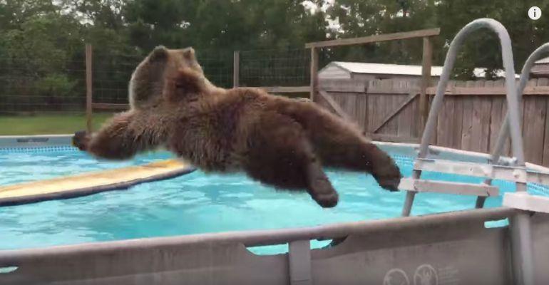 Bruiser Bear Enjoying a Refreshing Dive in His Swimming Pool.