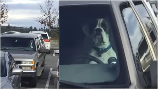 Impatient Dog Honks Car Horn to Get His Owner's Attention.