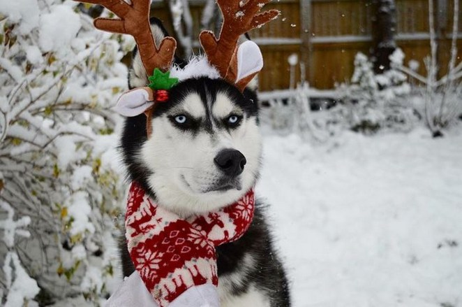 While huskies do love being outside in the snow and cold.