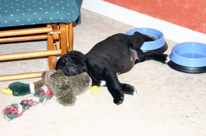 25 Puppies Asleep in Their Food Bowls - Look at that full belly! Time for a nap!