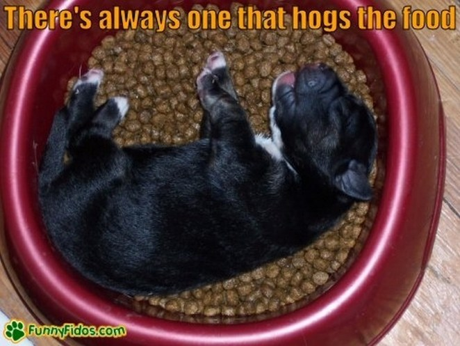 25 Puppies Asleep in Their Food Bowls - There's always one that hogs the food.