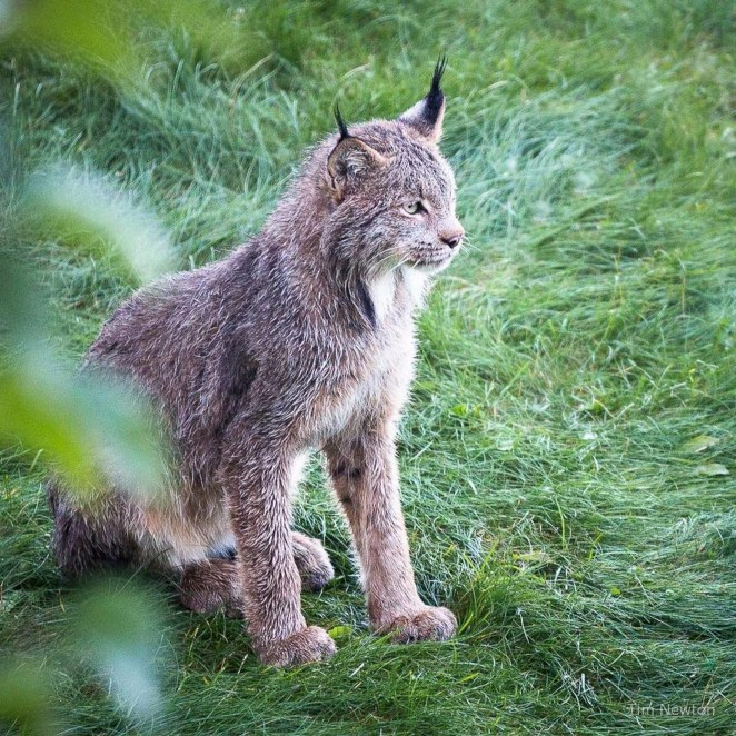 Proud mama lynx looking after her kittens while camouflagedbehind some bushes.