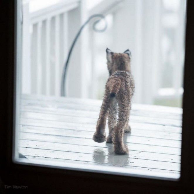 When photographer Tim Newton heard noises on his porch, he took a look and found a lynxkitten.