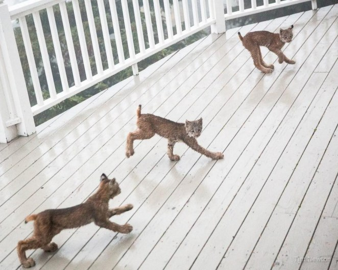 As he approached, he noticed the lynx kitten was looking at his brothers and sisters playing on the porch.
