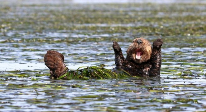 """2017 Comedy Wildlife Photography Award Winners - Highly Commended """"Cheering-Sea-Otter"""" By Penny Palmer."""