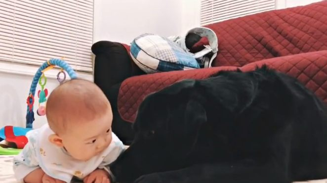 Gentle Black Labrador Proves Dogs Can Be Amazing Babysitters.