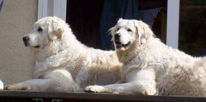 23 Rare Dog Breeds - Kuvasz.