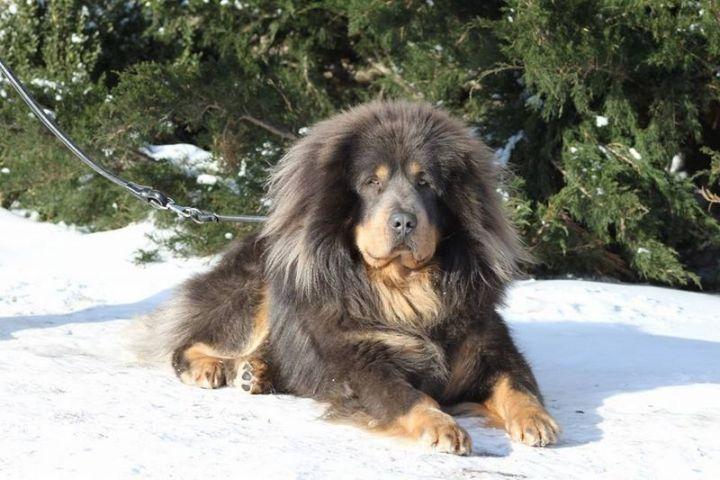 23 Rare Dog Breeds - Tibetan Mastiff.