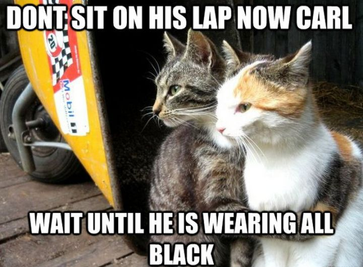 "55 Funny Cat Memes - ""Don't sit on his lap now Carl, wait until he is wearing all black."""
