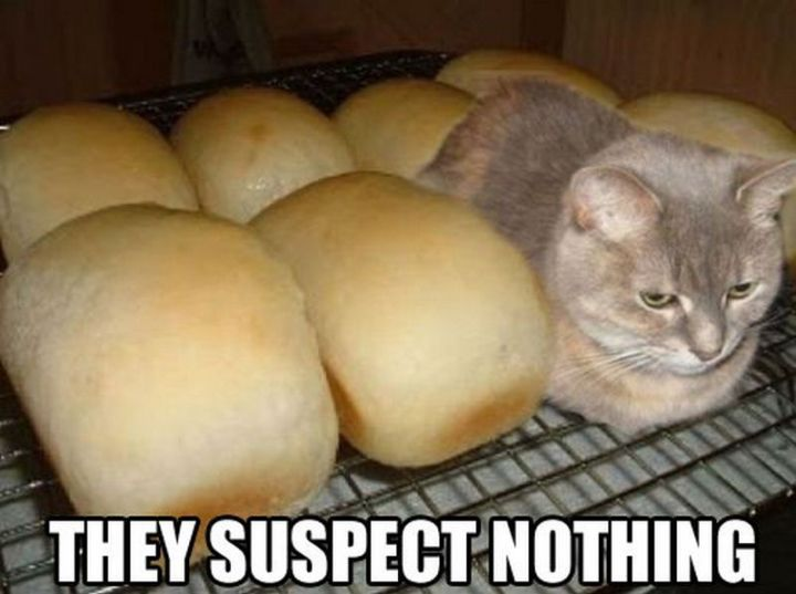 "55 Funny Cat Memes - ""They suspect nothing."""
