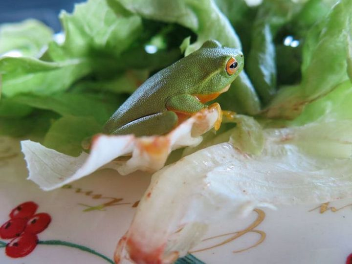 It ain't easy being a tree frog but it sure makes a good camouflage when snuggled against lettuce.
