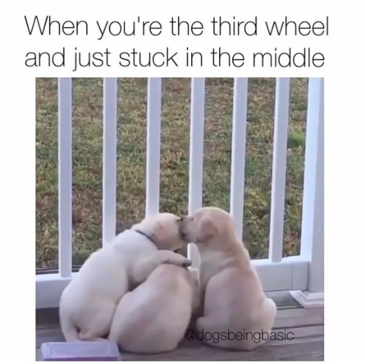 "101 best funny dog memes - ""When you're the third wheel and just stuck in the middle."""