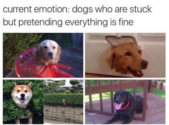 "101 best funny dog memes - ""Current emotion: Dogs who are stuck but pretending everything is fine."""