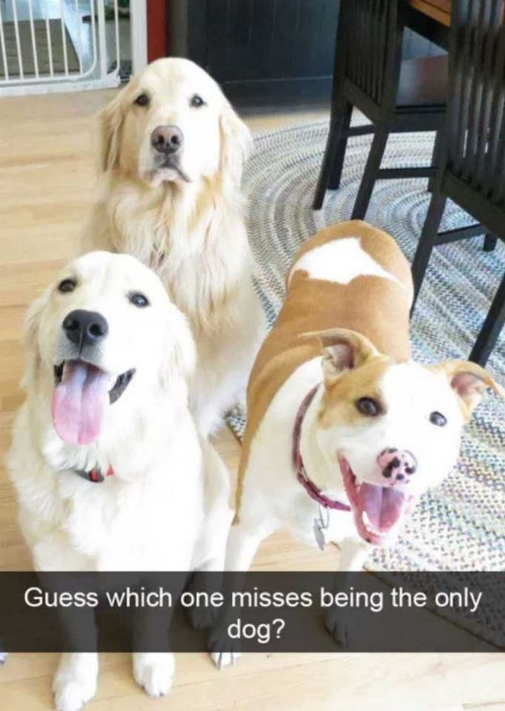 "101 best funny dog memes - ""Guess which one misses being the only dog?"""