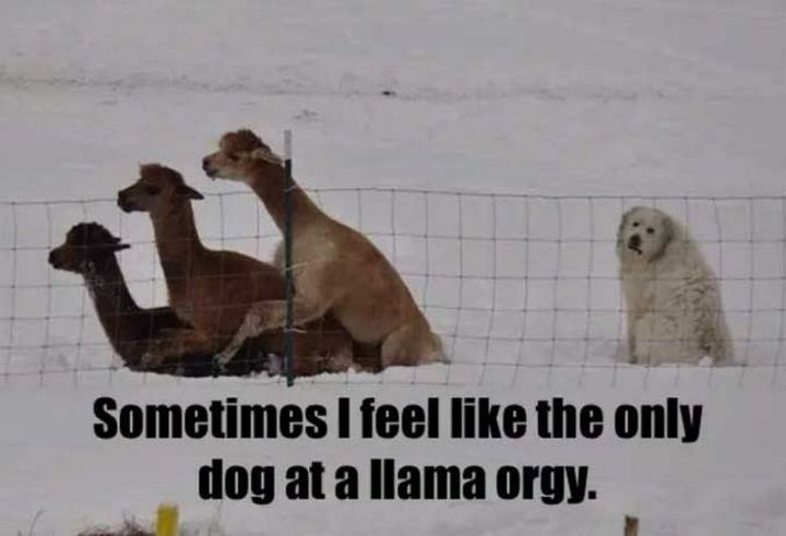 "101 best funny dog memes - ""Sometimes I feel like the only dog at a llama orgy."""