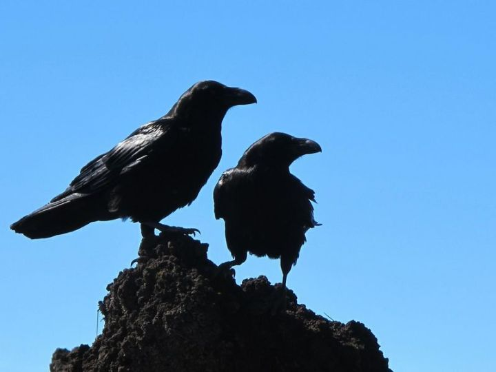 27 Amazing Animal Facts - Crows have been observed to actually play pranks on each other.