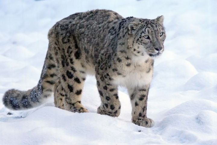 Snow leopards have less developed vocal cords than other large cats. So, rather than roar, they let a 'chuff' which is like a loud purr.