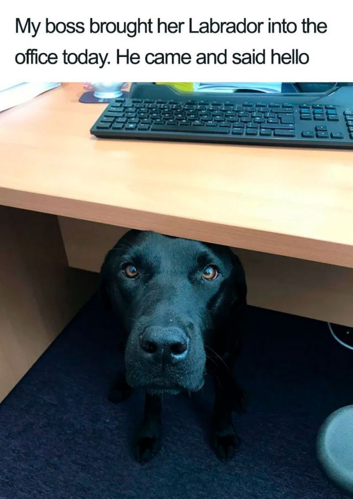 "55 Cute Dog Posts - ""My boss brought her Labrador into the office today. He came and said hello."""
