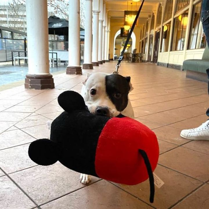 """""""Just met Ellie who likes to walk around the city with her favorite Micky Mouse toy (for all the attention and pats she gets). Can confirm it 110% worked."""""""