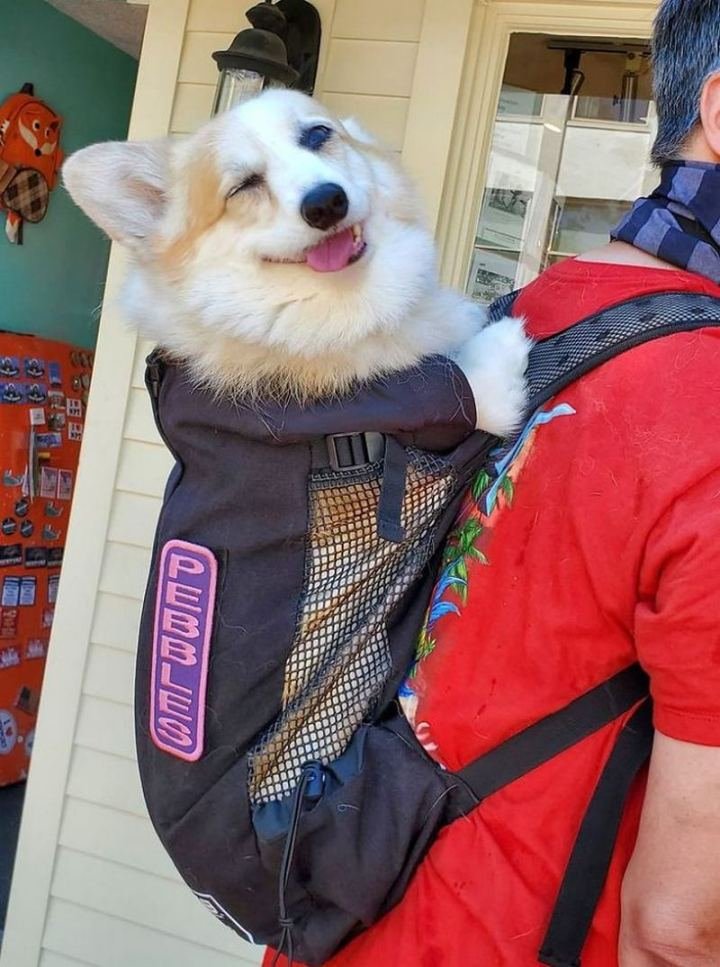 """""""Spotted this cute corgi in a backpack! Her name is on the backpack. She was a happy girl."""""""