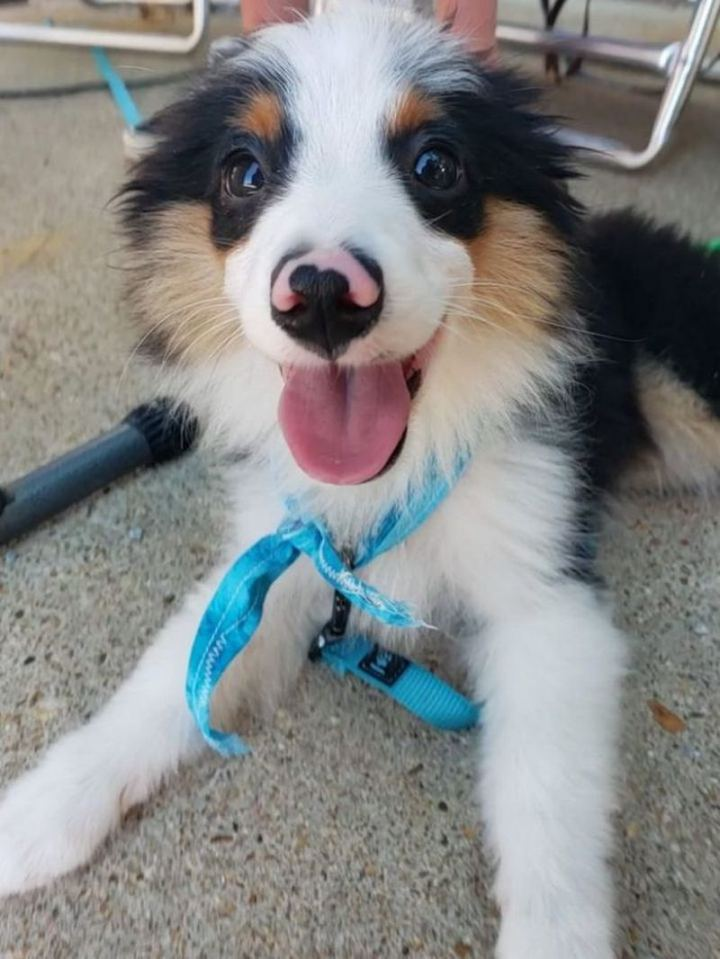 """""""Three-month-old mini Australian shep!!!!!!! look at that lil nose!!!!"""""""