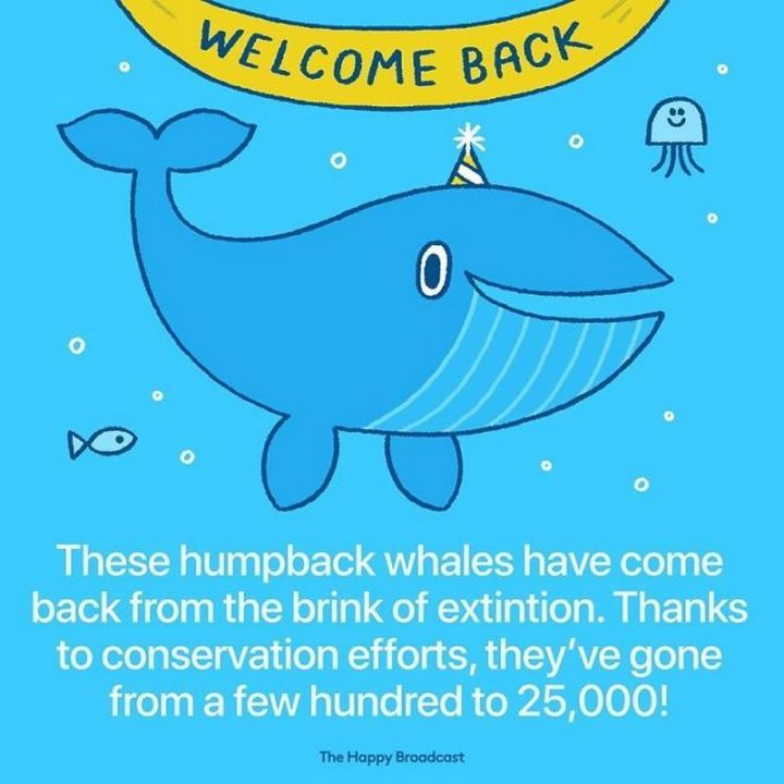 """These humpback whales have come back from the brink of extinction. Thanks to conservation efforts, they've gone from a few hundred to 25,000!"""
