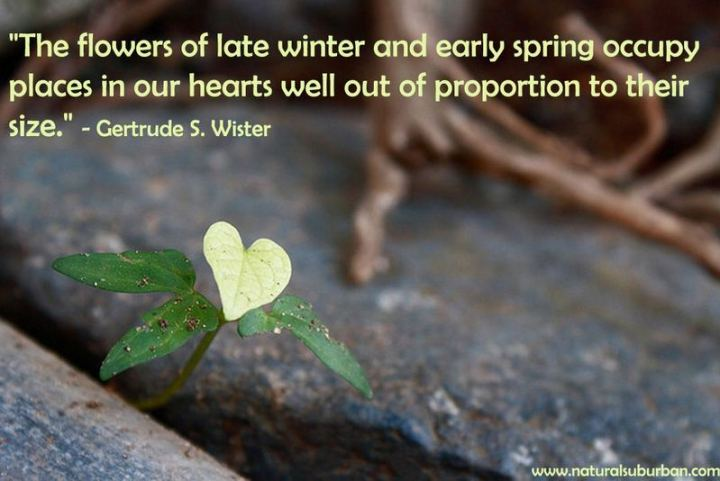 """""""The flowers of late winter and early spring occupy places in our hearts well out of proportion to their size."""" - Gertrude S. Wister"""