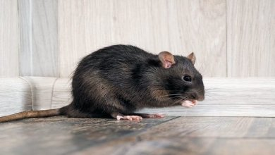 Photo of How To Kill rats Permanently From Your House