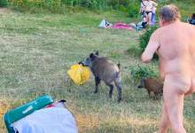 Photo of Nude man seen chasing down wild boar after it stole his laptop while he was sunbathing